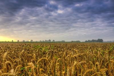 Weizenfeld in der Böggelhörst